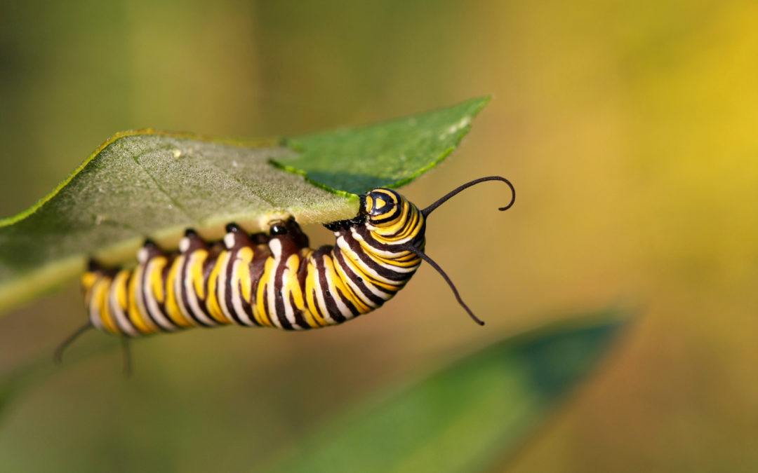 A Channeled Message: The Determination of the Caterpillar