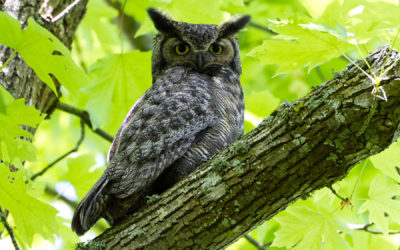 A Channeled Message: The Plea of the Owls